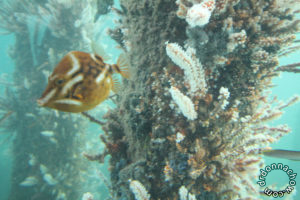 The marine life at Busselton Jetty