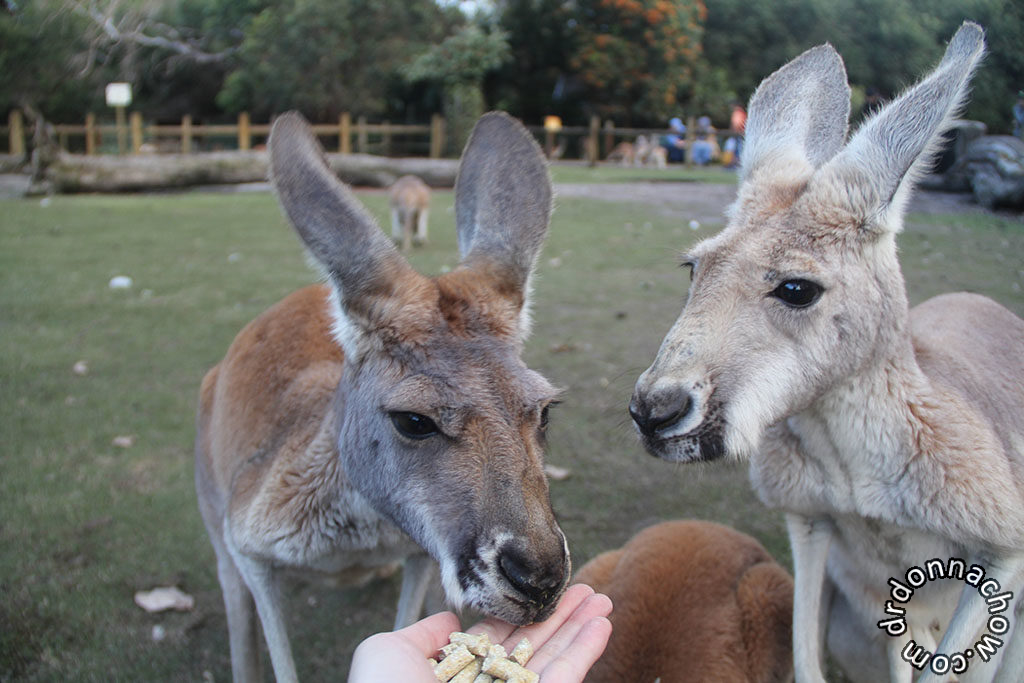 Feeding free roaming Kangaroos