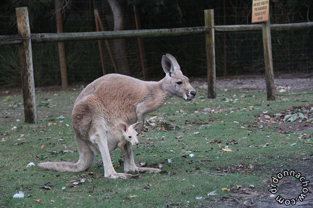 A mummy and her joey