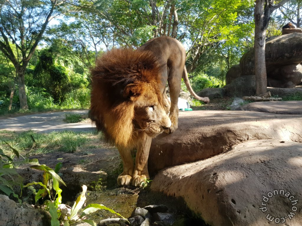 My close encounter with the lion