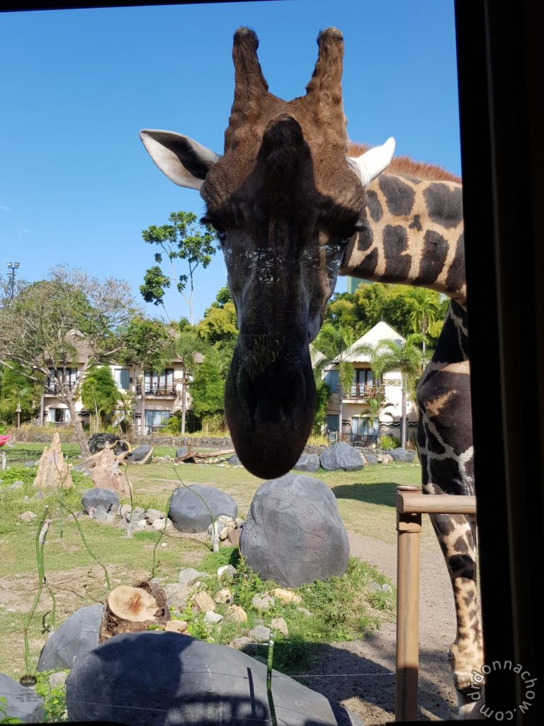 The giraffe checking us out during our tram ride