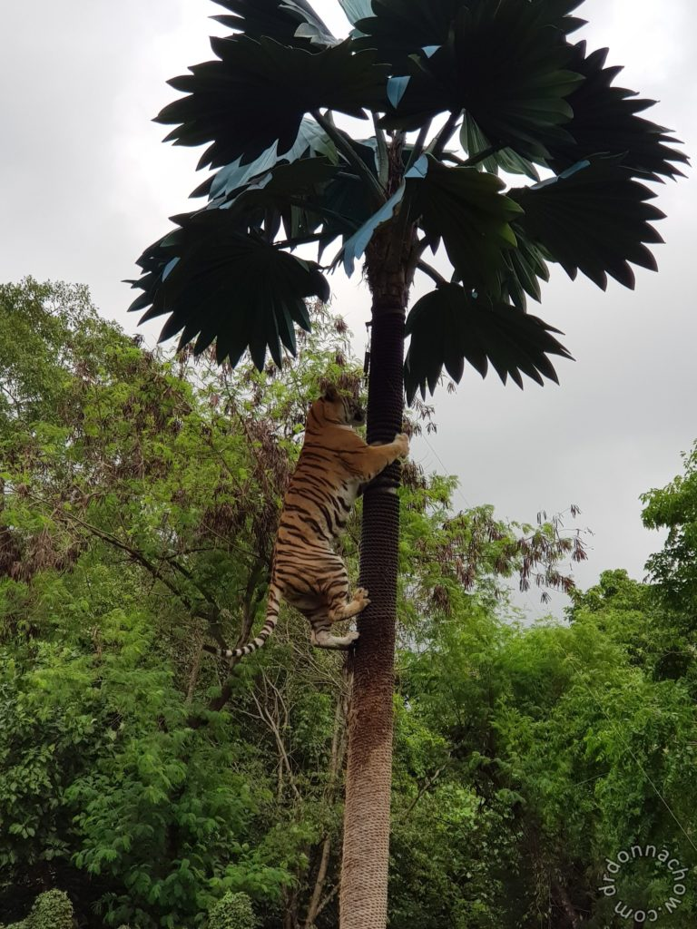 A tiger on the tree